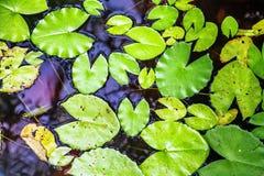 Lilysbladeren Royalty-vrije Stock Afbeeldingen