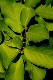lilytree的绿色leafage和芽或Yulan木兰,在黑暗的背景的拉丁名字木兰Denudata 免版税库存照片