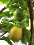 Limão Foto de Stock