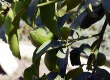 Limão ainda verde, amadurecendo na árvore Fotografia de Stock