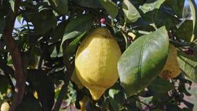Limão brilhante na árvore video estoque