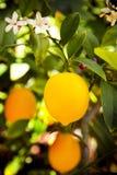 Limão de Myer Foto de Stock Royalty Free