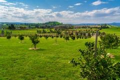 Limão e árvores alaranjadas Fotografia de Stock Royalty Free