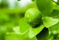 Limão e gota Imagens de Stock