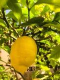 Limão fresco amarelo na árvore foto de stock royalty free