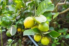 Limão fresco na árvore Fotografia de Stock Royalty Free