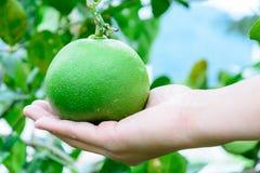 Limão fresco verde disponível Imagem de Stock Royalty Free