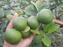 limão geern na árvore, limão da exploração agrícola fresco Fotos de Stock Royalty Free