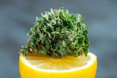 Limão médico Kush Strain e tensão OG da jaritataca do cannabis do limão Imagens de Stock