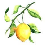 Limão maduro fresco com a folha no ramo isolado, ilustração da aquarela ilustração do vetor