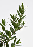 Limão Myrtle Plant Imagem de Stock