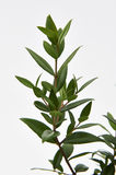 Limão Myrtle Plant Fotografia de Stock Royalty Free