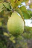 Limão que amadurece Fotografia de Stock