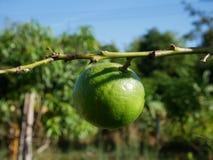 Limão verde no ramo Imagens de Stock