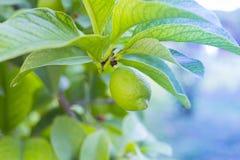 Limão verde que pendura no ramo entre as folhas imagem de stock