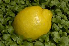 Limón Fotos de archivo