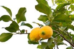 Limón biológico en blanco Fotos de archivo libres de regalías
