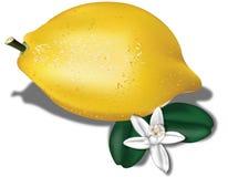 Limón con la flor Imagenes de archivo