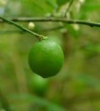 Limón en el árbol Fotos de archivo