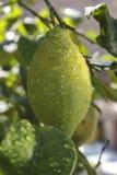 Limón en el crecimiento cubierto con las gotitas de agua Fotos de archivo libres de regalías