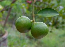 Limón en el jardín Imágenes de archivo libres de regalías