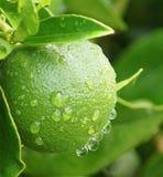 Limón en la lluvia Fotos de archivo