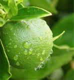 Limón en la lluvia Fotos de archivo libres de regalías