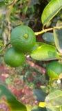 Limón estupendo del verde del tecleo foto de archivo