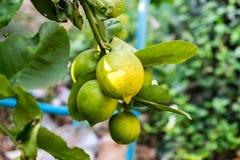 Limón fresco en árbol Imagenes de archivo