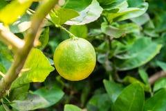 Limón fresco en árbol Foto de archivo libre de regalías