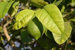 Limón maduro en árbol Fotografía de archivo libre de regalías