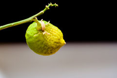 Limón no maduro de la fruta en una rama en un fondo negro fotografía de archivo libre de regalías