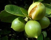 Limón verde fresco Imagen de archivo