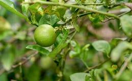 Limón verde tailandés en árbol imagen de archivo
