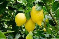 Limón y hoja Foto de archivo libre de regalías