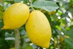 Limón y hoja Fotos de archivo