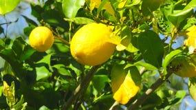 Limões amarelos brilhantes em uma árvore fotos de stock