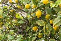 Limões amarelos em ramos de árvore imagens de stock royalty free
