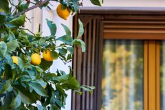 Limões amarelos na árvore fotografia de stock royalty free