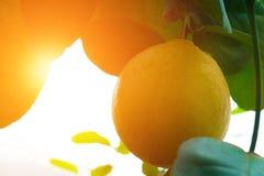 Limões amarelos que penduram na árvore foto de stock royalty free