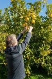 Limões da colheita Imagens de Stock Royalty Free