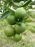Limões da exploração agrícola em Tailândia Imagens de Stock Royalty Free