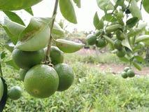 Limões da exploração agrícola em Tailândia Imagem de Stock