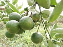 Limões da exploração agrícola em Tailândia Fotos de Stock Royalty Free