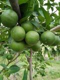 Limões da exploração agrícola em Tailândia Fotos de Stock
