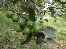 Limões da exploração agrícola em Tailândia Foto de Stock Royalty Free