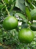 Limões da exploração agrícola em Tailândia Fotografia de Stock Royalty Free