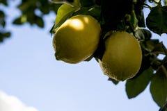 Limões de Esplendida que penduram no ramo fotos de stock