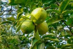 Limões do verde do cultivo que penduram na árvore imagens de stock royalty free