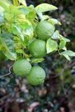 Limões em ramo de árvore unripened fotografia de stock royalty free